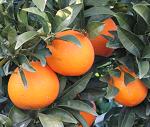 Naranjas Olea Naturae