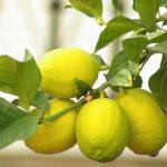 Limones ecológicos